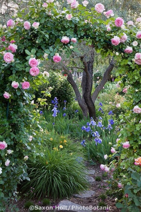 .cottage garden with arched arbor. Ornamental tree surrounded by irises.