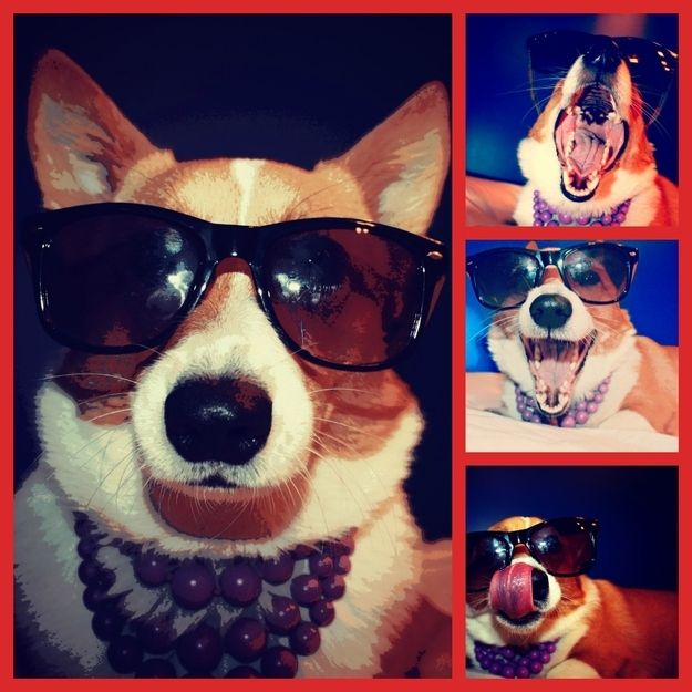 dog with glases: Dogs, Funny Pics, Corgi, Mad Style, Funny Photo, Accessories, Photo Shooting, Popular Pin, Animal