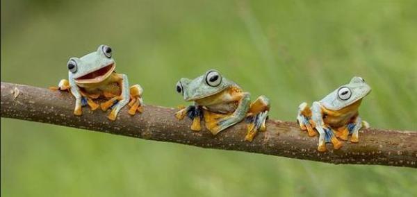10 Persen Spesies Katak Kalimantan Terancam Punah