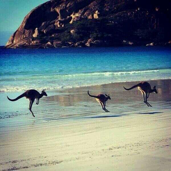 Australie, kangourous sur la plage