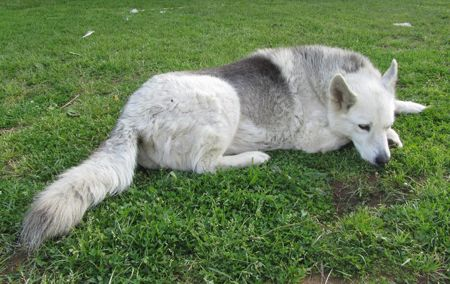 SQUILLE (CASERTA): SMARRITA MOLLY, CANE SIMIL HUSKY http://terzobinario.blogspot.it/2015/04/squille-caserta-smarrita-molly-cane.html