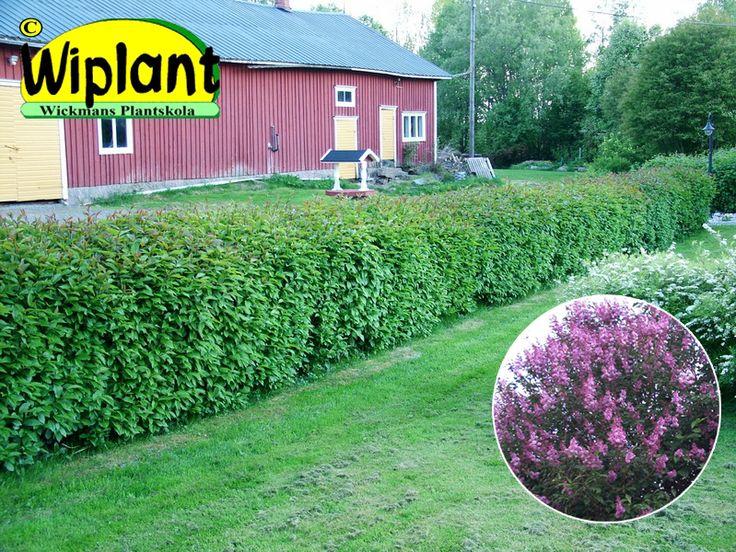 Syringa jos. 'Kjell'/'Måttsund', Ungersk syren. Lila blommor, sortäkta kloner för jämnast växt. Blommar ej som klippt häck. 'Kjell' rekommenderas till friväxande häckar. 1,5-4 m hög. 'Måttsund' har smalare växtsätt och är snabbväxande utmärkt häckklon.