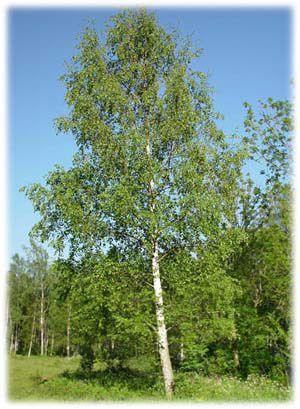 Koivu (birch)
