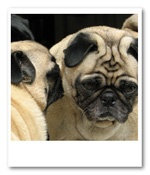 Pug Rescue for Indiana and Kentucy