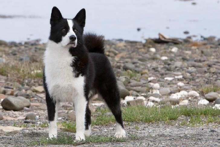 43 best Karelian Bear dog images on Pinterest | Bear dogs ...