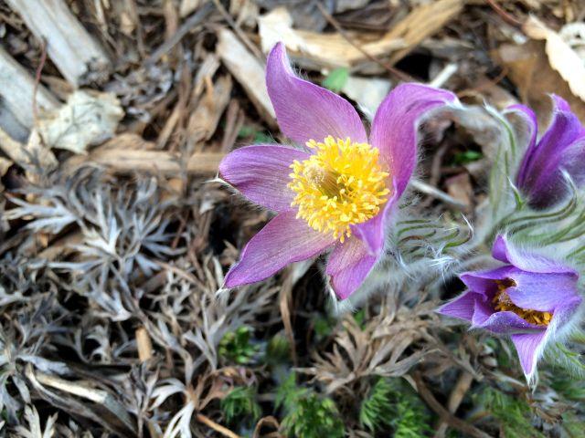 Prairie Crocus Pasque Flower