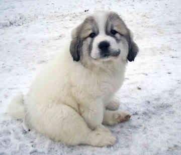 Great Pyrenees = Adorable