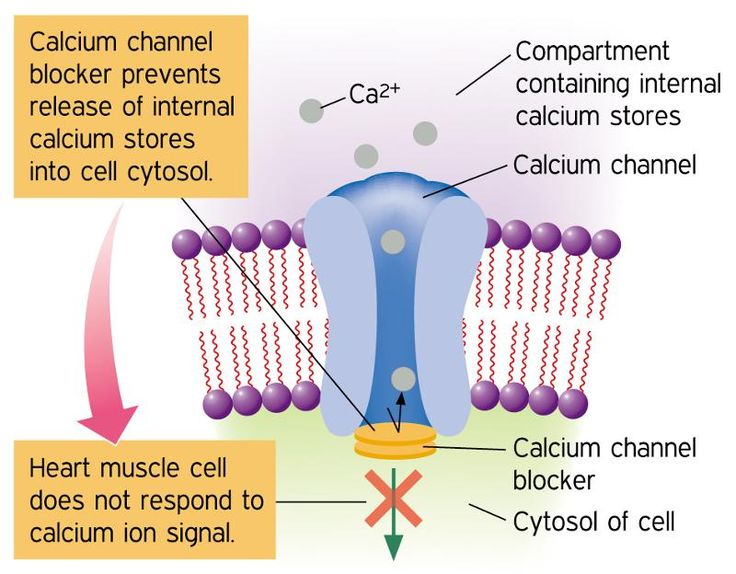 calcium channel blockers | physiology | pinterest | calcium, Skeleton