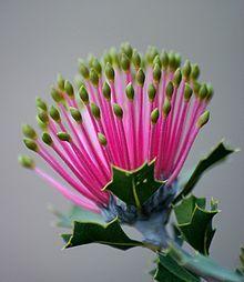 Banksia cuneata Gros-plan d'un bourgeon floral prêt à s'ouvrir, chaque fleur de l'inflorescence, rose avec une extrémité jaune, ressemble à une allumette