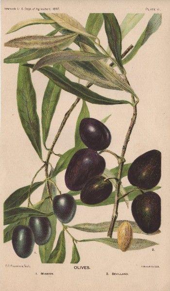 Botanical - Olives - The Graphics Fairy