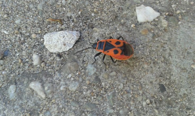 Ploštice  (Heteroptera) Foceno u nás na zahradě