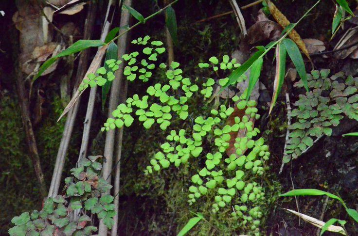 CULANTRILLO (Adiantum capillus- veneris)