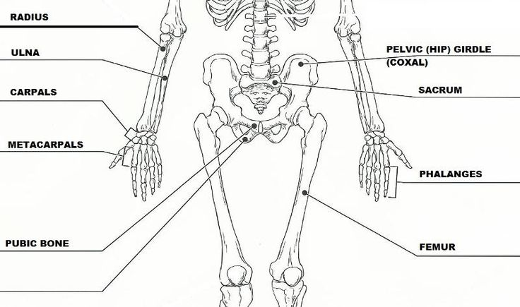 18 best anatomy and physiology images on Pinterest | Skeletons ...