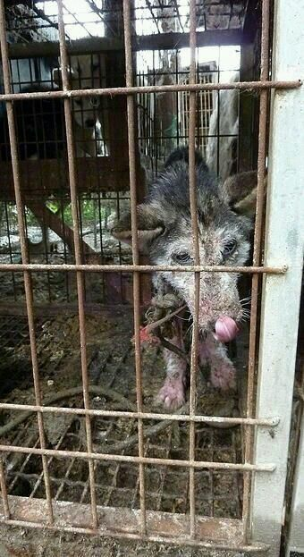 Dog in Asia starving tortured to be eaten by FAT RICH FUCKFACE ASIANS there isn't even any FAT on her ASIA=TORTURE