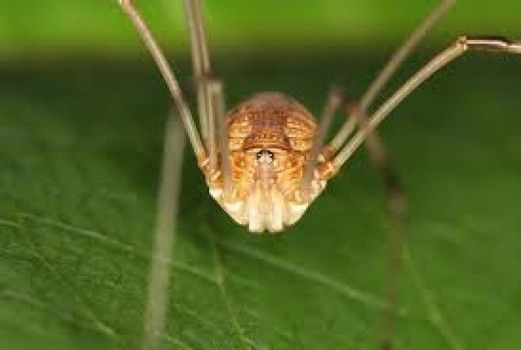 Busting the myth of the granddaddy long leg spiders