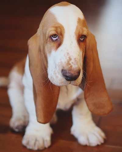 Basset Hound Puppy Dogs