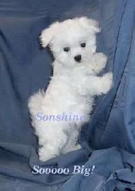 Regalo Cachorros Bichon Maltes en adopcion... - Mascotas Gratis