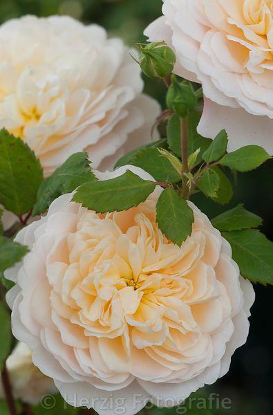 """Rose """"Crocus Rose"""" - Englische Rose, David Austin 2000"""