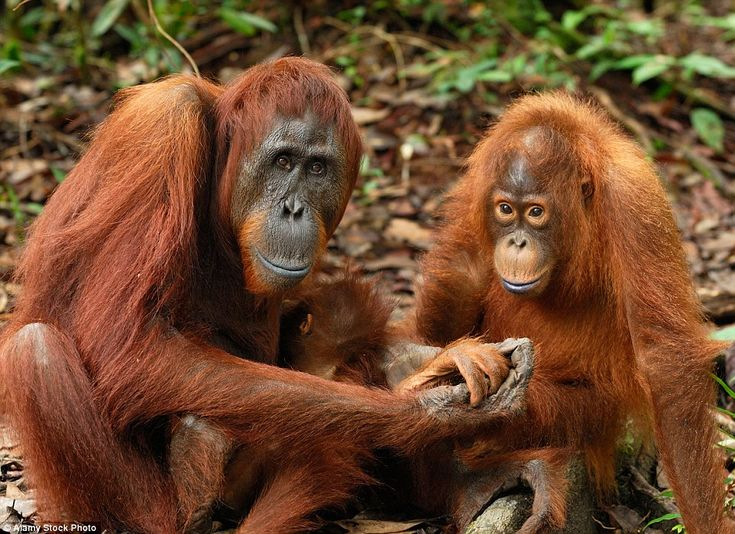 The endangered primates' natural habitat is under threat from palm oil plantations and illegal mining and logging