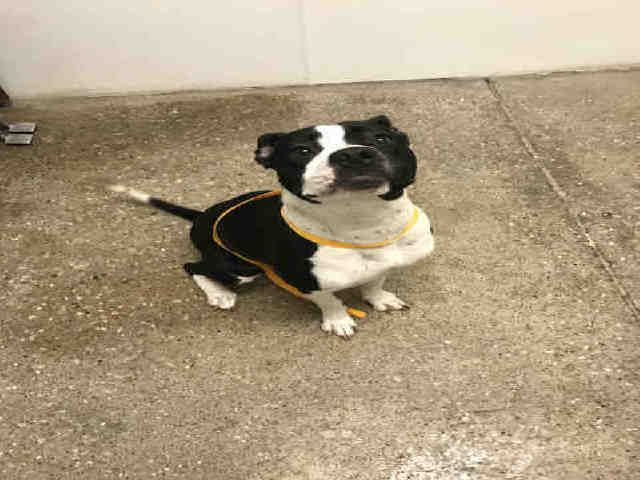 American Boston Bull Terrier dog for Adoption in Lawrence, KS. ADN-529609 on PuppyFinder.com Gender: Female. Age: Young