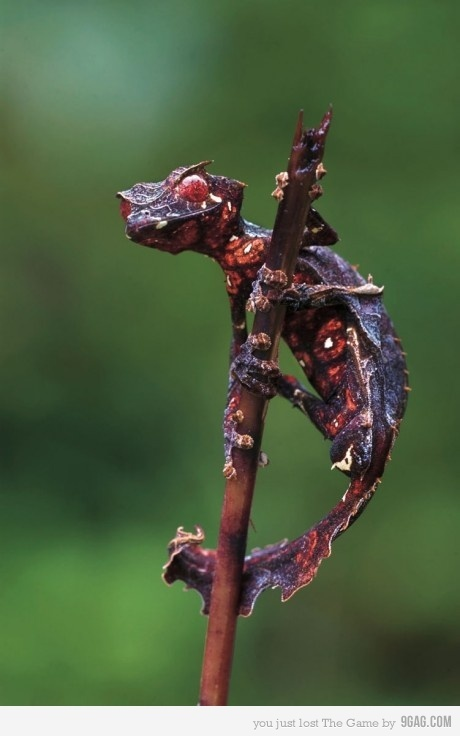 Creepy leaf-tail gecko