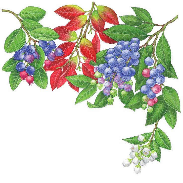 All About Growing Blueberries - Organic Gardening - MOTHER EARTH NEWS