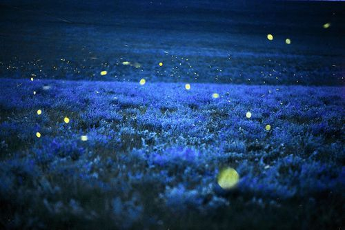 Fireflies by Jim RichardsonLights, Fire Fly, Fireflies, Flint Hills, Wild Alfalfa, National Geographic, Lightning Bugs, Summer Night, Jim Richardson