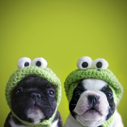 Funny dogs @RTPinterestsFrench Bulldogs, Funny Dogs, Dresses Up, Halloween Costumes, Funny Quotes, Funnydogs, Funny Puppies, Frogs, Animal