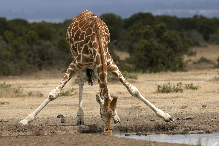 How Much Do You Know About Giraffes?: Full-Grown Giraffes Are Rarely Attacked in the Wild