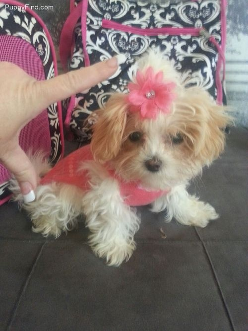 Available Mi-kis   Puppies, Cute little puppies, Small dog