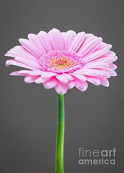 Gerber, pink, Flower, photography,  decor, Wall decoration, photo on wall decor, wall decor, art, isolated, studio, photo, products, design