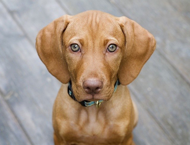 Vizsla Puppy: Been petitioning for Ryan to get a Vizsla because I need one in my life and they're the perfect breed for him. Those. Eyes.