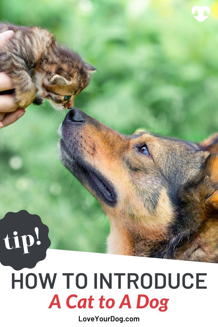 How To Introduce A Cat To A Dog Socialization Tips Tricks Dog