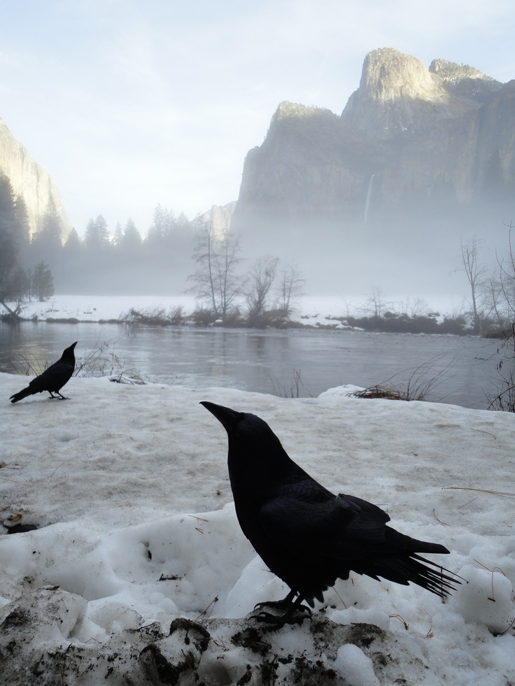 Winter Crows in Yosemite