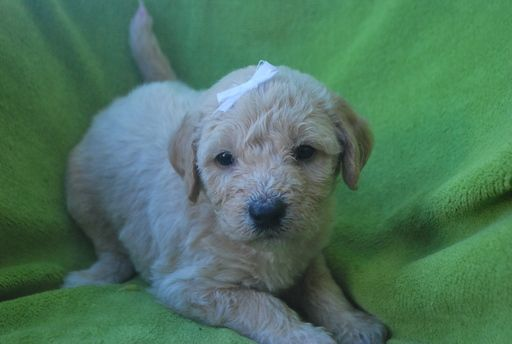 Litter of 9 Labradoodle puppies for sale in ALPINE, UT. ADN-32237 on PuppyFinder.com Gender: Female. Age: 4 Weeks Old