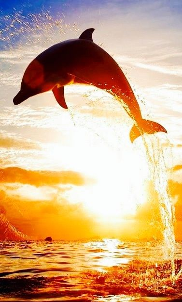 Dolphin in the sunset