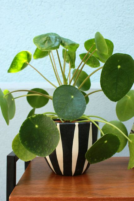 pilea peperomidiodes in vertical stripes