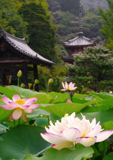 thekimonogallery:  Lotus flowers at Mimurotoji temple in Kyoto Japan