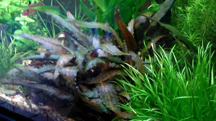 pareja de gambas japonesas, macho y hembra, en el acuario. hembra tratan...