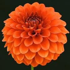 There Are So Many Types Of Dahlias These Gorgeous Flowers Relatively Inexpensive In August