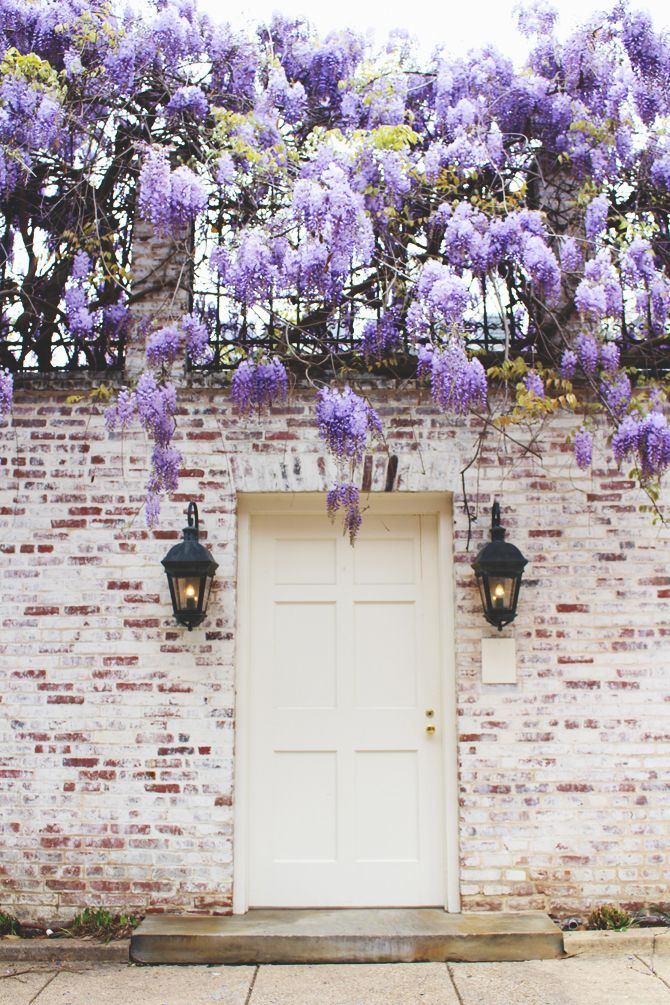 white door with wisteria in Georgetown, Washington, DC. | the pretty crusades