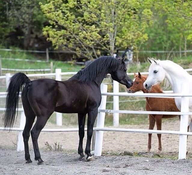 Arabian meet each other for the first time