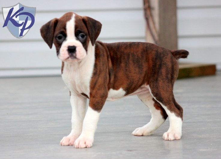 Maggie – Boxer Puppies for Sale in PA | Keystone Puppies