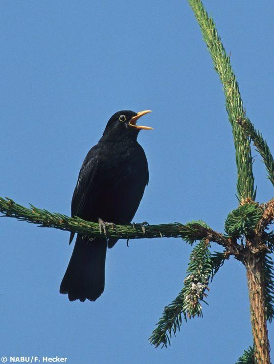 Welcher Vogel Singt Morgens Zuerst