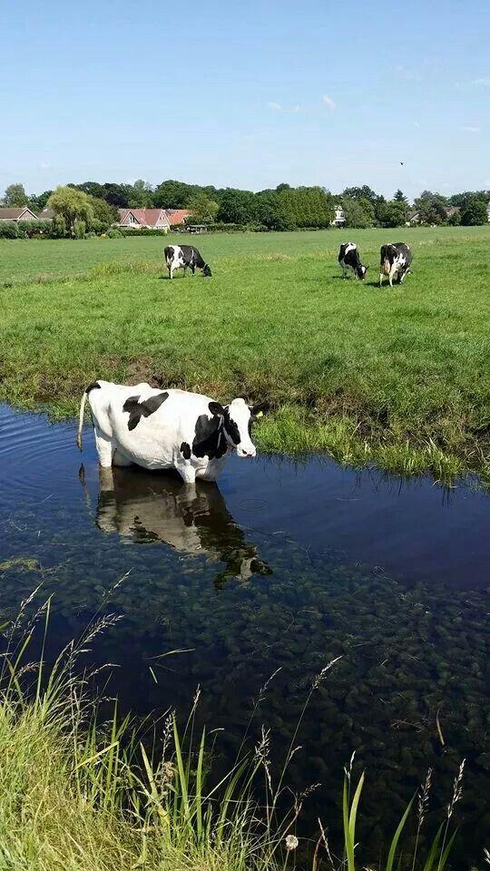 Dutch cow in summer
