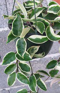 Hoya-Wachsblume-Porzellanblume-carnosa-variegata-SONDERANGEBOT-Ableger