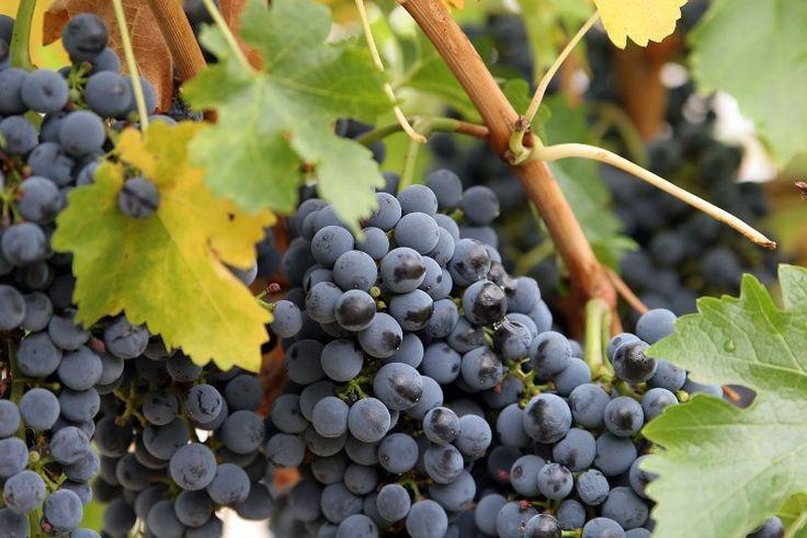 Обрезка винограда для начинающих