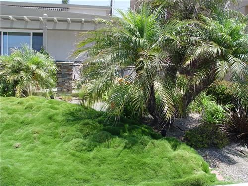 """This sward of Asian ornamental grass needs no mowing and requires far less water than traditional turf."" says Maureen Gilmer in Morongo Valley, CA. I love the fluffy softness! See more no-mow ideas here: http://www.landscapingnetwork.com/lawns/alternatives.html#"