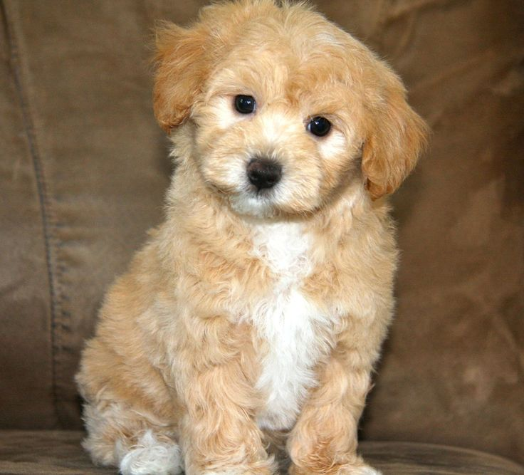 445 best Maltipoo images on Pinterest | Cute puppies ...