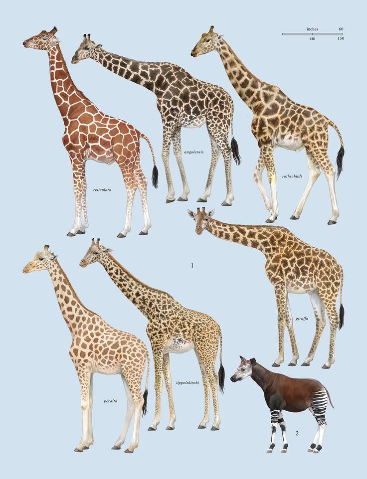 """Family Giraffidae (Giraffe and Okapi) - plate from """"The Handbook of Mammals of the World Volume 2"""""""